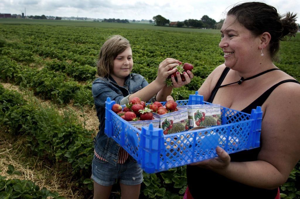 Självplock av jordgubbar